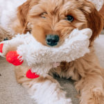 jasmine elias boswell and moose boswell, adorable golden doodle puppy, a puppy and his toy